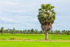 在一个绿色米领域的棕榈树 免版税图库摄影