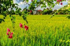 在一个绿色米领域附近的开花的桃红色九重葛,背景的房子, Umalas,巴厘岛,印度尼西亚 库存图片