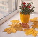 在一个黄色罐和槭树叶子的茄属植物 库存图片