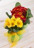 在一个绿色罐的报春花春天红色和黄色花有有绿色叶子的和黄色丝带的 免版税图库摄影
