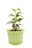 在一个绿色罐的榕属 图库摄影