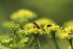 在一个黄色花宏指令特写镜头的昆虫 免版税库存照片