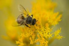在一个黄色花宏指令的繁忙的蜂蜜蜂 免版税库存照片