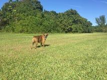 在一个绿色草甸的一条烟草花叶病的色的拳击手狗 免版税图库摄影