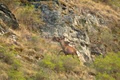 在一个绿色草甸的一头孤立鹿 库存照片