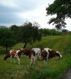 在一个绿色草甸的一头美丽的母牛 免版税库存图片