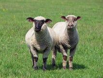 在一个绿色草甸的两只绵羊 免版税图库摄影