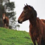 在一个绿色草甸的二匹马 免版税库存照片