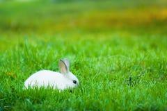 在一个绿色草甸的兔子 免版税库存图片