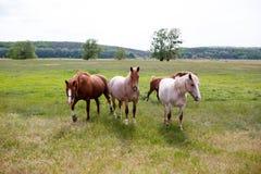在一个绿色草甸的家庭马 图库摄影