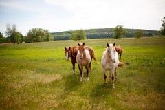 在一个绿色草甸的家庭马 免版税库存图片