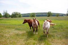 在一个绿色草甸的家庭马 库存照片
