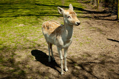 在一个绿色草甸的小鹿 库存图片