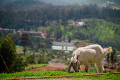 在一个绿色草甸的山羊 库存照片
