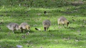 在一个绿色草甸的幼鹅 股票录像