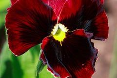 在一个绿色草甸的明亮的蝴蝶花绽放 库存照片