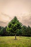 在一个绿色草甸的杉树 库存照片