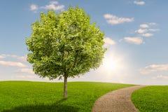 在一个绿色草甸的树有在日落的一条道路的 库存照片