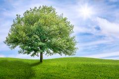 在一个绿色草甸的橡树 免版税库存照片