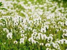 在一个绿色草甸的白色蓬松蒲公英 免版税图库摄影