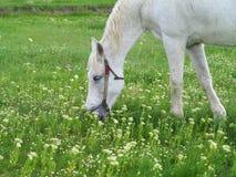 在一个绿色草甸的白马在夏日 库存照片