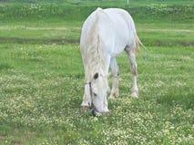 在一个绿色草甸的白马在夏日 免版税库存图片