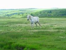 在一个绿色草甸的白马在夏日 免版税库存照片