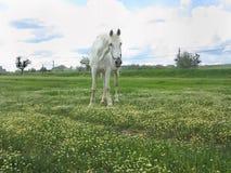 在一个绿色草甸的白马在夏日 免版税图库摄影