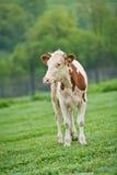 在一个绿色草甸的红flecked品种小牛母牛在清早 免版税库存照片