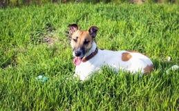 在一个绿色草甸的逗人喜爱的狗狐狸狗有球的 免版税库存照片