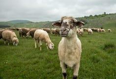 在一个绿色草甸的长毛的绵羊 免版税库存照片