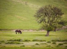 在一个绿色草甸的马有树的 库存照片
