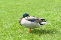 在一个绿色草甸的鸭子 免版税库存图片