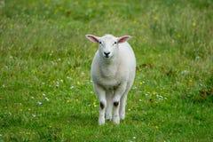 在一个绿色草甸的绵羊在爱尔兰 免版税库存图片