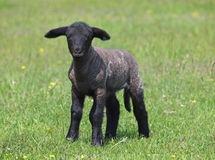 在一个绿色草甸的黑羊羔 免版税图库摄影