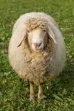 在一个绿色草甸的绵羊 库存图片