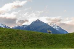 在一个绿色草甸的绵羊 库存照片