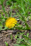 在一个绿色草甸的黄色蒲公英 免版税库存照片