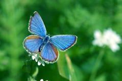 在一个绿色草甸的蝴蝶 库存照片