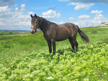 在一个绿色草甸的黑马在春日 图库摄影