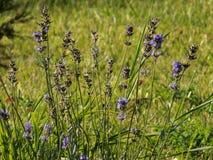在一个绿色草甸的lavander花 库存照片