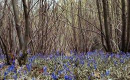 在一个绿色草甸种植的狂放的会开蓝色钟形花的草花 库存图片