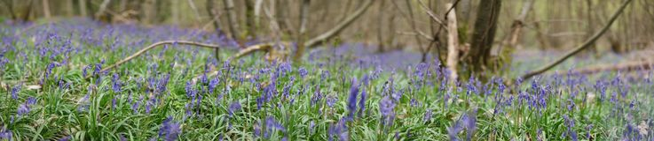 在一个绿色草甸种植的狂放的会开蓝色钟形花的草花 库存照片