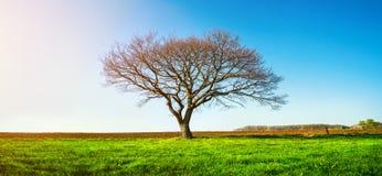 在一个绿色草甸,一个充满活力的农村风景的一棵偏僻的树与 库存图片