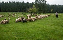 在一个绿色草甸21的长毛的绵羊 免版税库存照片