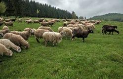 在一个绿色草甸34的长毛的绵羊 免版税库存图片