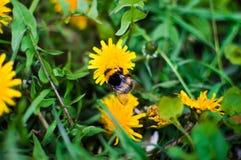 在一个黄色蒲公英的一只大土蜂 免版税图库摄影