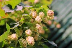 在一个绿色词根特写镜头的啤酒花球果树 库存照片