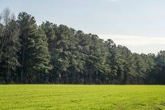 在一个绿色象草的领域的杉树 免版税库存照片