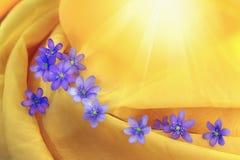在一个黄色透明组织的紫罗兰色hepaticas, 库存照片